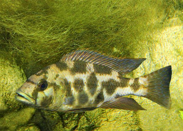Pyszczak Nimbochromis livingstoni elblag