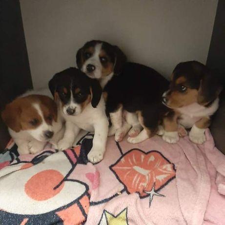 Szczenięta beagle