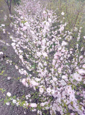сажанці дерев ,абрикос ,слив , персика та кущі луїзенії