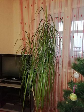 Драцена, комнатное растение, пальма, юкка