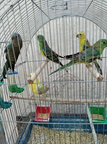 Певчий  попугай.