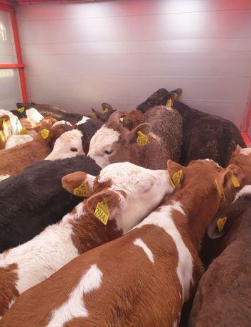 Byczki jalowki mięsne krzyżówki!!! Nowa dostawa.