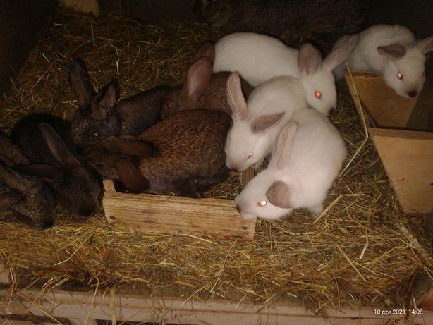 2 miesięczne króliki