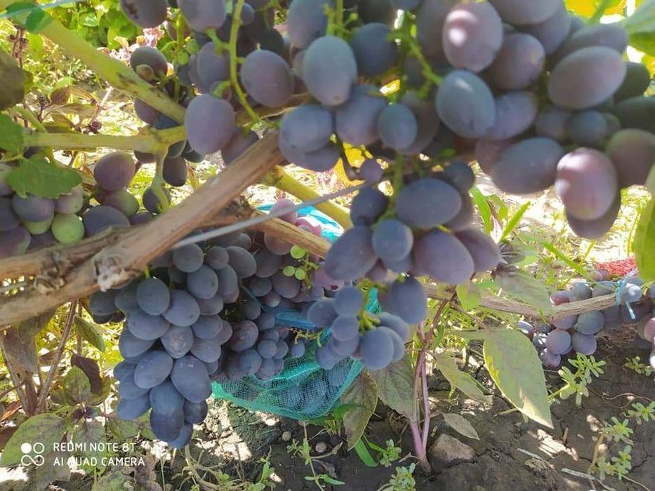 Продам черенки винограда Запорожье - изображение 1