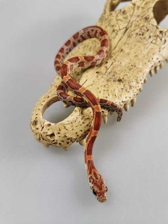 Phanteropis guttatus Wąż zbożowy Z9Sunkissed 66% het Amelano... Samiec