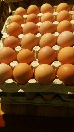 Фоксичик яйцо инкубационное
