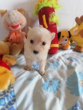 Кнопа, 1 месяц щенок, собака, собачка прямо как шпиц