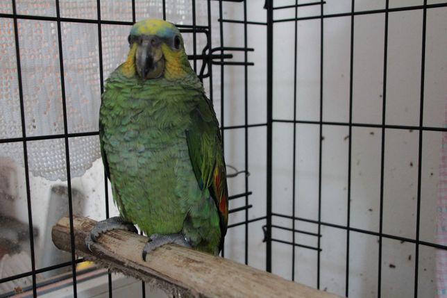 Papagaio Amazona Amazónica