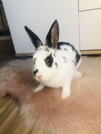 Królik króliczek karzełek