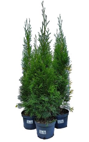 Tuja Smaragd, Szmaragd 60-70cm 2l.Rośnie od początku w doniczkach.