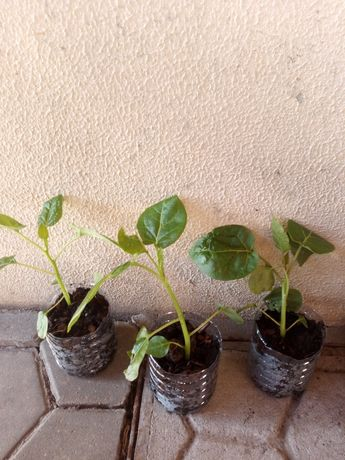 Mudas planta tamarilho