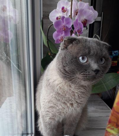 Вязка.Вислоухий голубоглазый красавчик