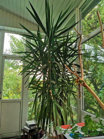 Продам пальму Юкка 2,8 метра