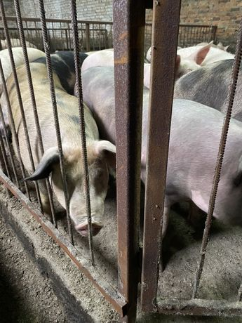 Свині (свиньи, поросята) живою вагою