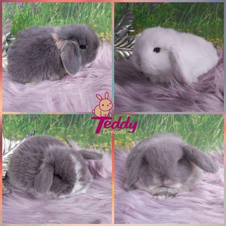 Królik króliczki Karzełek Mini Lop. Wolne samczyki