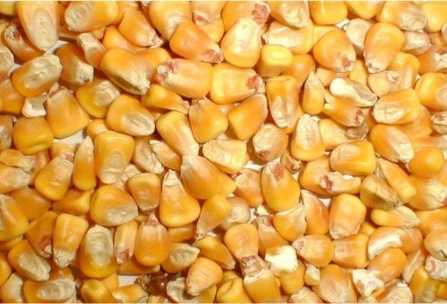 Кукуруза зерно , по купа ю.