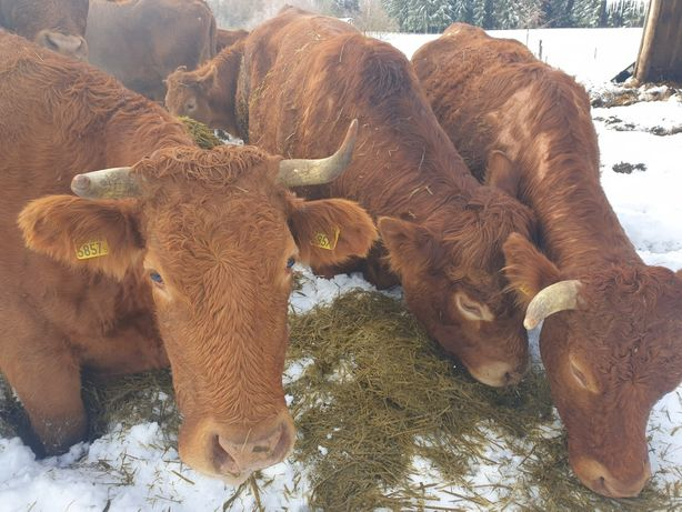 Stado krów miesnych