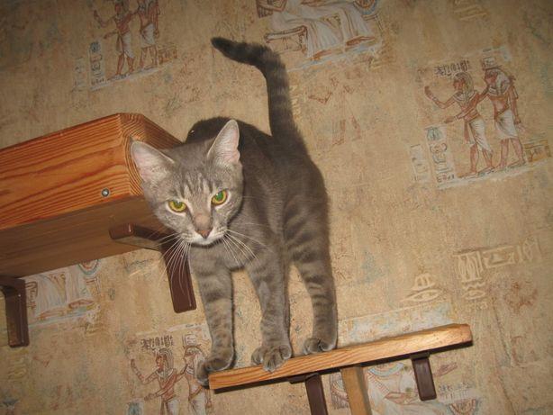 Отдам серого котёнка ,девочка ,стерилизована, 8 месяцев