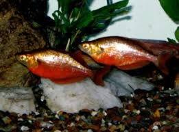Tęczanka czerwona Glossolepis incisus 6-7 cm od 10 sztuk po 10 zł