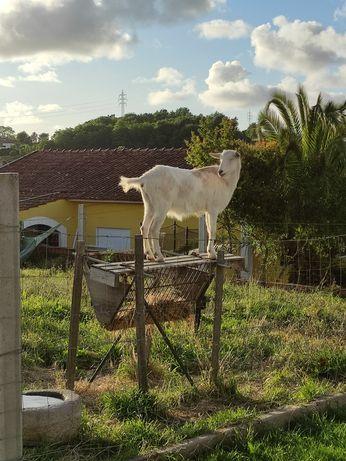 Cabra mocha grande e robusta