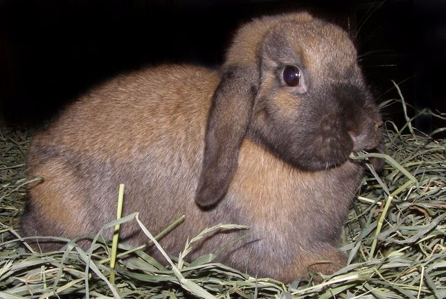Продаются декоративные кролики вислоухой породы