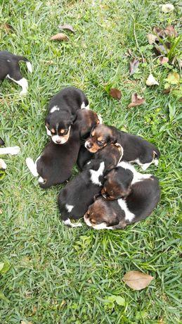 Beagles disponíveis