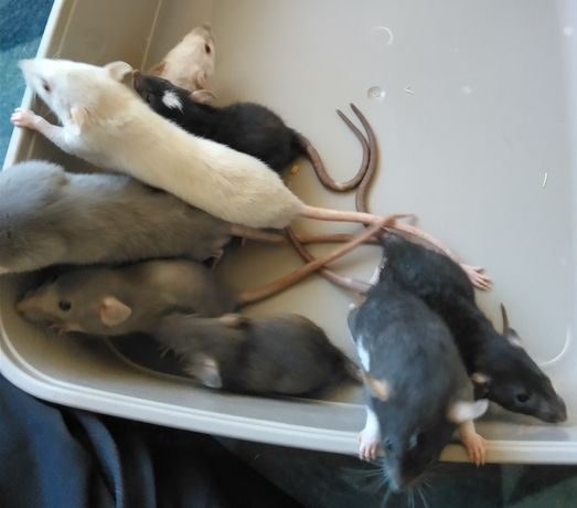 Szczurki Dumbo młode samce