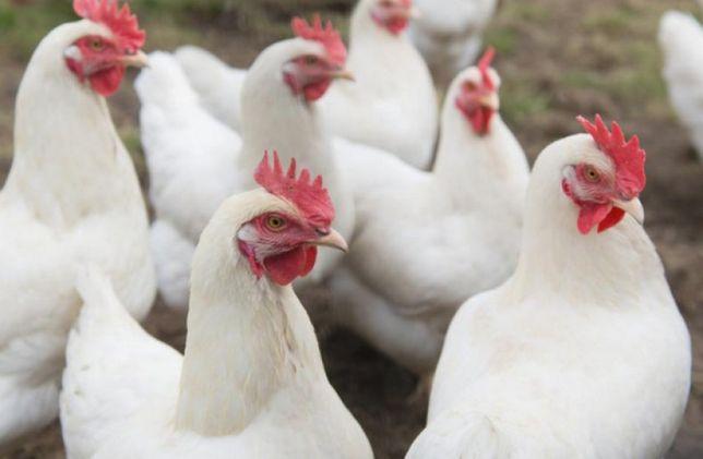 яйца для инкубации кур мясной породы