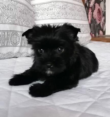 Yorkshire Terrier Black suczka