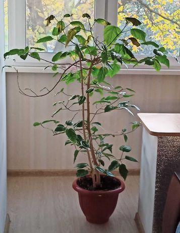 Роза китайская 140 см.