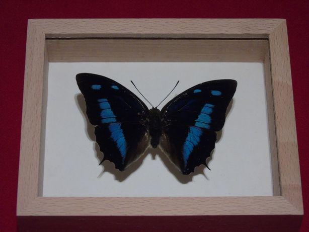 Motyl w ramce 12x10cm.Polygrapha cyanea 75 mm.Peru
