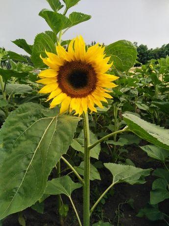 Słonecznik ozdobny na kwiaty cięte