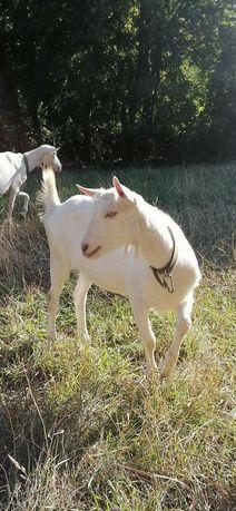 Чистопородні 100% Зааненські козочки, кози