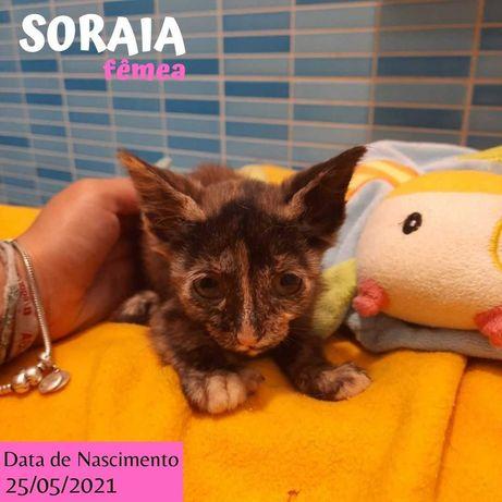 Gatinha 2 meses para adoção (Soraia)