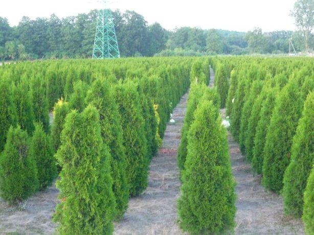 Thuja smaragd 160-180 cm Tuja szmaragd 180 cm Wadowice Darmowa dostawa