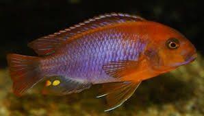 Pyszczak Rdzawy Lodotropheus Sprengerae Malawi