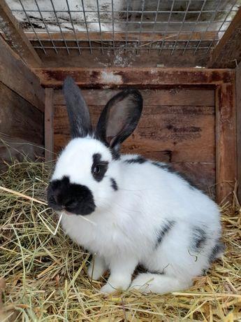 Sprzedam królika! (Samica)