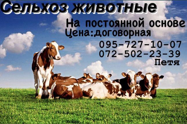 Крупно -рогатый скот,коровы,свиньи,хряки,козы