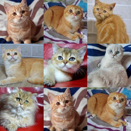 Подрощенные шотландские котята очень ласковые и ручные!