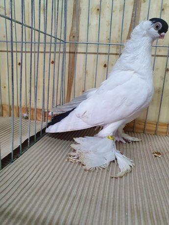 Gołębie ozdobne krymka białostocka czarna samica gołąb krymek