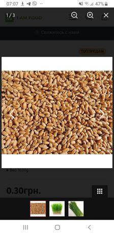 Пшениця пшеница продам