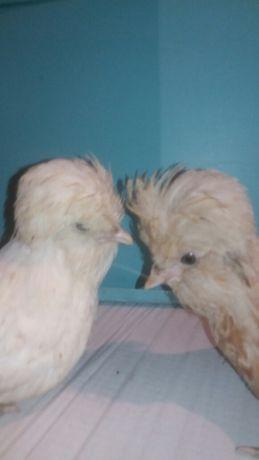 kurczaki ozdobne