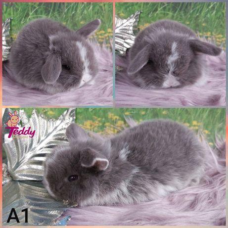 Królik króliczki Karzełek Mini Lop. Samczyk A1