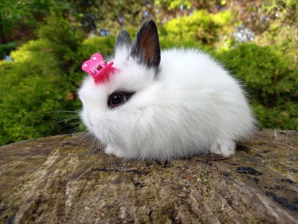 F1 panda teddy karzełek królik króliczek króliczki mini lop książeczka