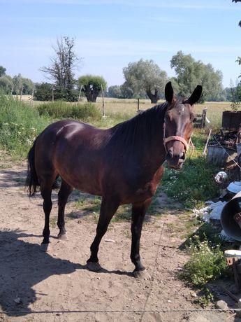 Klacz,    koń   !!!