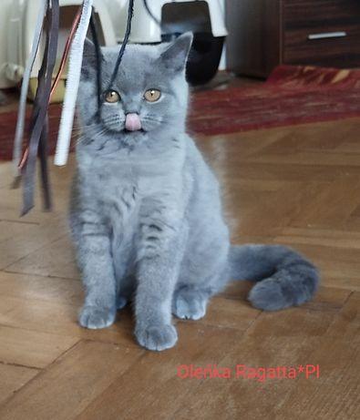 Brytyjski śliczna kotka