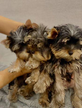 Продаются щенки Йоркширских терьеров, ксу.