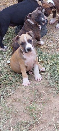American Staffordshire Terrier amstaff Samczyk