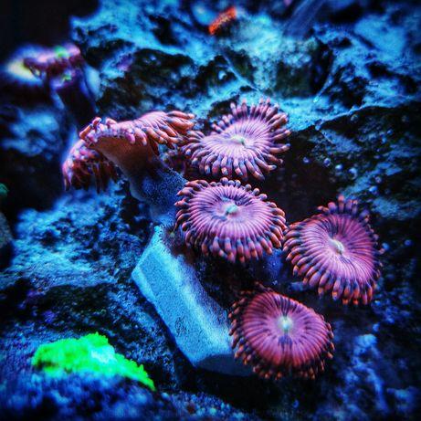 Koralowce miękkie Zoa - Zoanthus Playboy Bunny