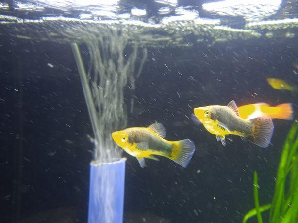 Platynka/zmieniak plamisty/platka/rybki akwariowe/ryby/ryba